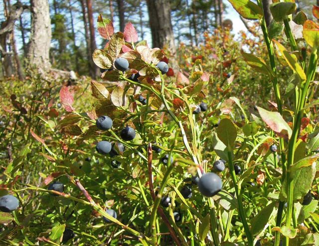 Härliga blåbärsris!