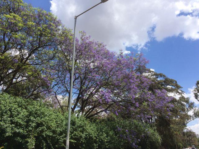 Nu är det jakarandaträdens tid att blomma. En fantastisk färgprakt i City in the Sun!